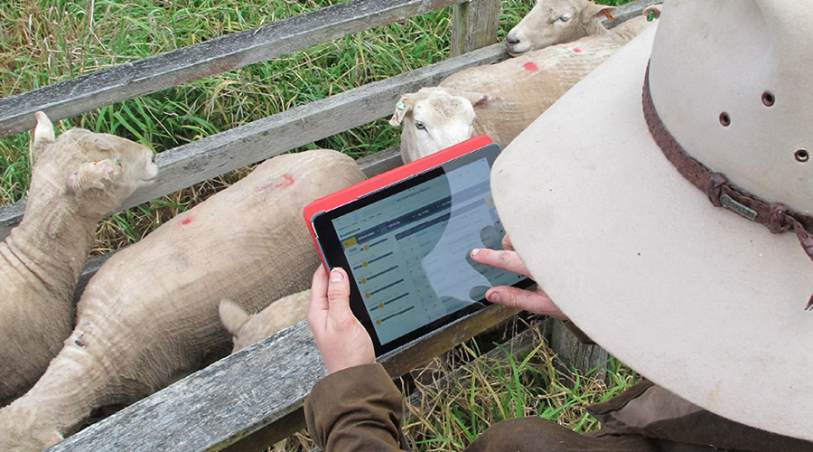 Farmer using digital technology for his sheep